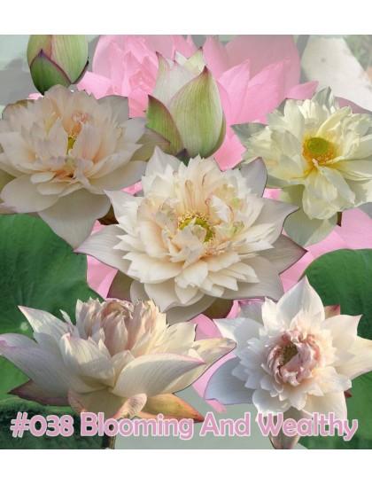 Nelumbo nucifera Blooming and wealthy