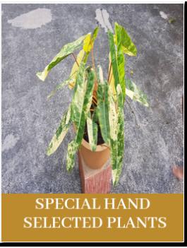 Special Aroids