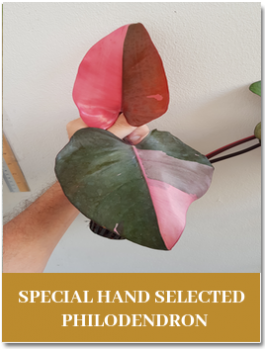 special hand philodendron