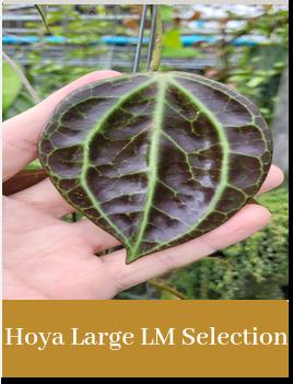 Hoya Large LM Selection