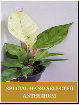 special hand anthurium
