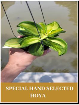 special hand hoya
