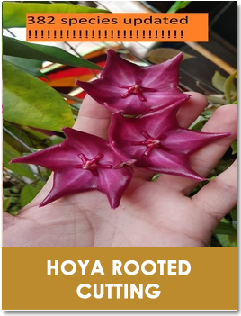 Hoya Rooted Cutting