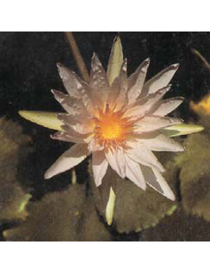 Nymphaea capensis ( cape water lily, blue capensis ).