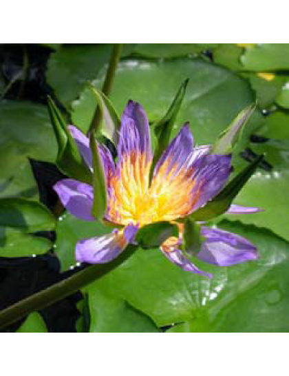 Nymphaea . Blue Indian Goddess