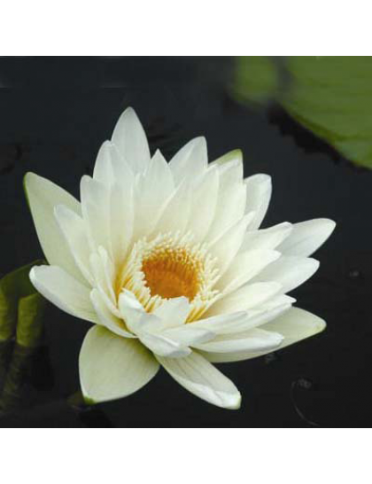 Nymphaea charles winch