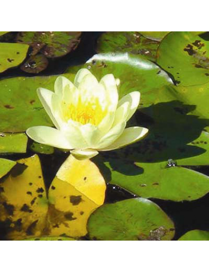 Nymphaea Chromatella