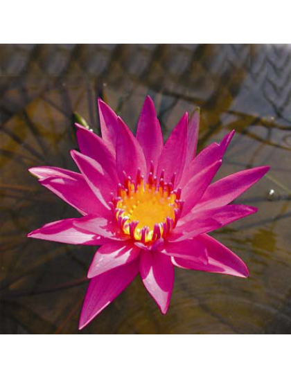 Nymphaea American beauty