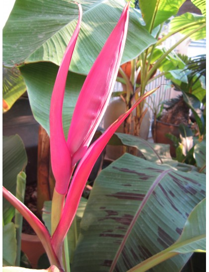 Musa ornata 'Red Ruby' (Bua Muang)