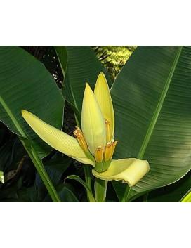 Musa laterita Siamensis (Thai Gold)